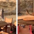Captan a canguros en plena pelea ¿a dos de tres caídas y sin límite de tiempo?
