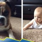 En 4 patas: perro se hace viral por enseñar a bebé a gatear (VIDEO)