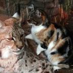 ¿Mejores amigos? Captan estrecha relación entre gata y lince en zoológico