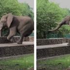 Captan a elefante brincando barda ¡para robar comida! (VIDEO)