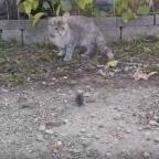 Captan a gato jugando con ratón y sucede lo impensable (VIDEO)