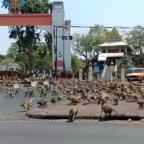¿Sin turistas? Monos invaden las calles de Tailandia por culpa del coronavirus (VIDEO)