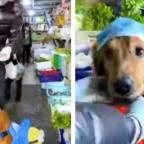 ¿Cubrebocas? Entrenan a perro para ir de compras en contingencia por COVID-19