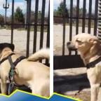 Perro hace berrinche tras cierre de parque por coronavirus (VIDEO)