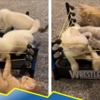 Justo en el ring: la tierna pelea de gatitos para pasar el rato (VIDEO)