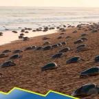 ¿A salvo? Tortugas emergen del mar para anidar en India durante cuarentena (VIDEO)