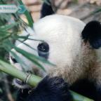 El perro panda: captan a hombre paseando a mamífero en calles de China