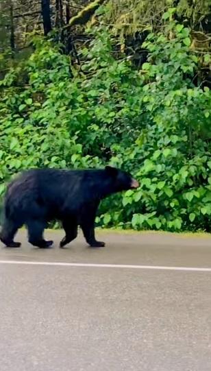 oso abre auto