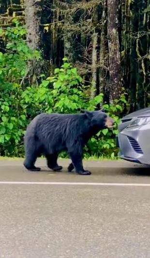 video oso en auto