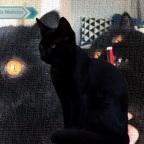 Gremlin: el adorable gato de ojos naranjas que rompe la red (VIDEO)