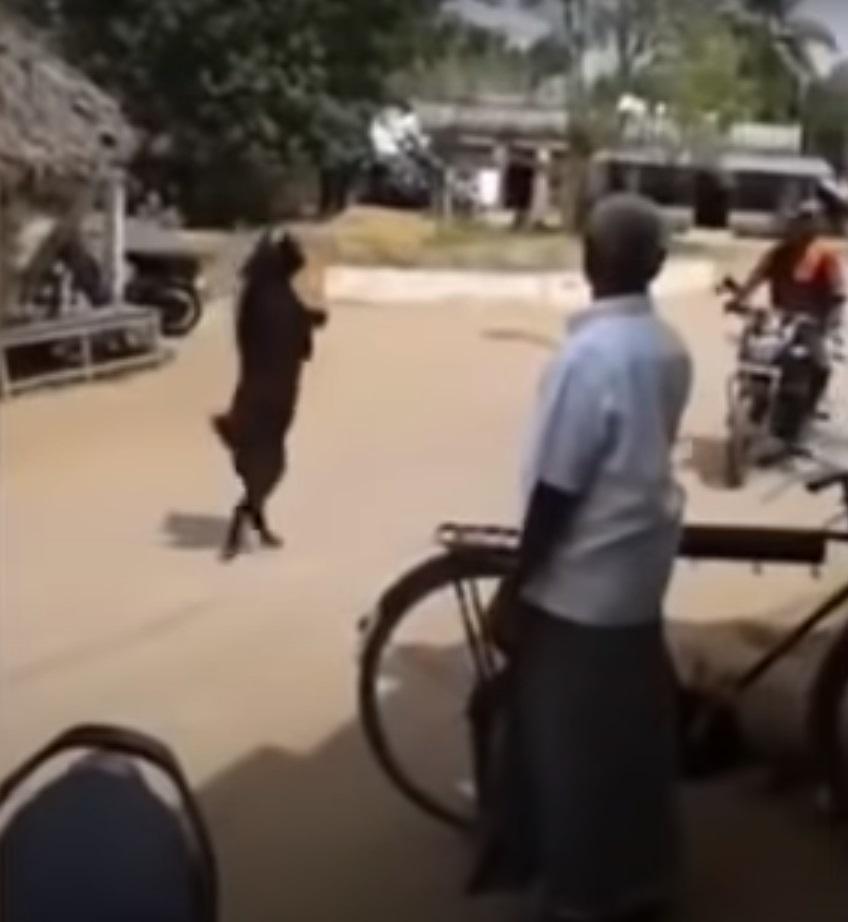 Cabra negra caminando en dos patas causa temor en redes