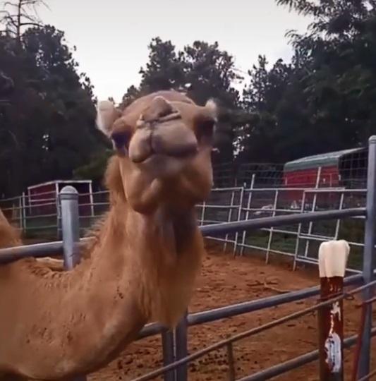 camello le come el cabello a mujer 3