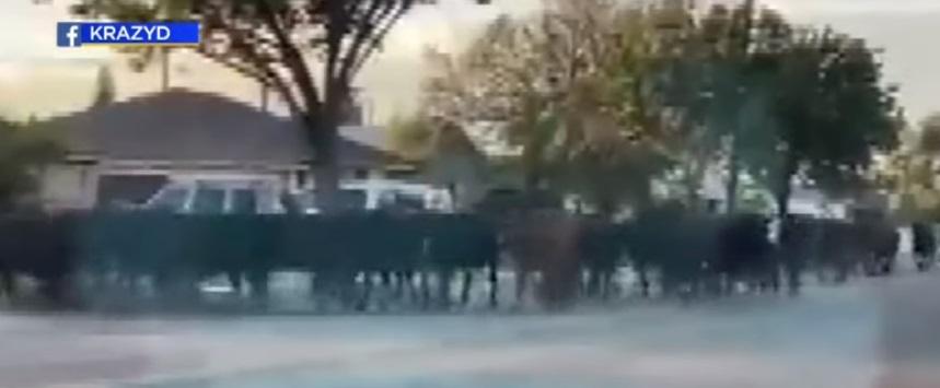 manada de vacas 1