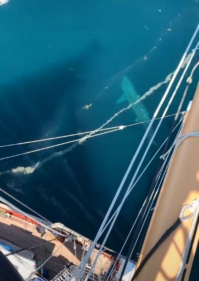 tiburon gigante 3