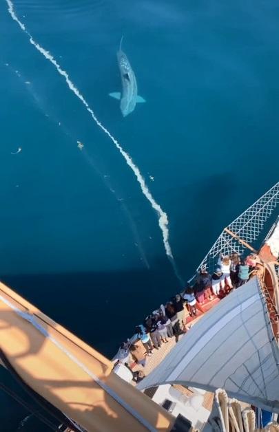tiburon gigante 4